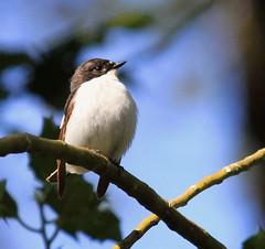 PIED FLYCATCHER ♂️ (Bradders62) Tags: piedflycatcher sigma150500mmf563dgoshsmlens canoneos7d birds wildbirds britishbirds nature wildlife devon yarnerwood southwest dartmoor