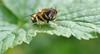 imagine having no eyelids (conall..) Tags: eristalis dronefly friday flyday blackcurrant leaf closeup raynox dcr250 macro county down tullynacree nw551041 annacloy garden itchy eye scratch clean lack eyelids flyface