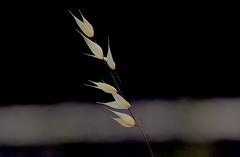 Aire que te quiero Aire. (angelalonso4) Tags: canon eos 6d 70300mm ƒ80 3000 mm 1125 200 explore explorar nature natura hierba ocre espiga