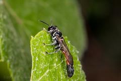 Wasp (Trypoxylon sp.) (jgruber111) Tags: trypargilum trypoxylon crabronidae trypoxylini hymenoptera insect macro entomology wasp squareheadedwasp