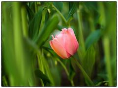Mitakon Tulip (Krogen) Tags: norge norway norwegen akershus romerike ullensaker jessheim krogen tulip tulipan blomster flowers mitakonspeedmaster olympuspenf