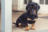 Szuzi (danieldioszegi) Tags: dog doggy doggo dachshound puppy pet adorable cute outdoor animal animals outdoors portrait paws