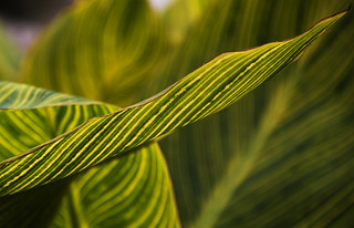 Lily leaves sharp impression
