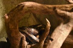 Black Rat Snake (Adventurer Dustin Holmes) Tags: 2018 wondersofwildlife animalia animals chordata blackratsnake blacksnake snake ratsnake pantherophisobsoletus reptilia squamata colubridae
