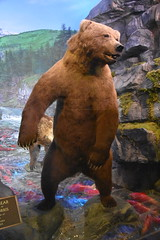 Brown Bear (Adventurer Dustin Holmes) Tags: 2018 wondersofwildlife bear brownbear museum johnpaulmorris taxidermy animal deadmansbay kodiakisland alaska