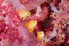 3 amigos (Luko GR) Tags: philippines visayas bohol panglao alona diving underwater puntodwall macro colors dendronephthya basslets anthias red yellow colorful softcoral