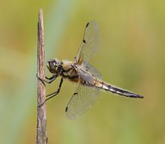 Libellula Quadrimaculata - Female (Visual Stripes) Tags: dragonfly odonata insect invertebrate nature reed bokeh bokehlicious canoneos7d sigma150mm sigma14teleconverter handheld nois