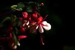 Fuchsie (sabine1955) Tags: fuchsie blüte blossem flower blume natur rot weis red white