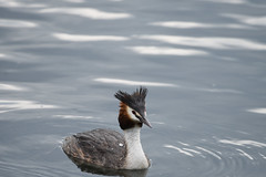 BIF_0356 (rtatn8) Tags: aldenhamreservoir hertfordshire england uk bird ornithology wildlife wild nature outdoor avian winged color colour landscapeorientation onwater flickr podicepscristatus greatcrestedgrebe