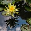 Waterlelie - Nénuphar - Water lily (Jan Bogers) Tags: janbogers d800 105 geel yellow jaune waterlelie nénuphar water lily eau bloem fleur