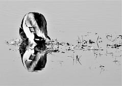 Mallard Drake - Black and White Reflections (Gilli8888) Tags: northumberland nikon p900 coolpix nature druridge druridgeponds wetlands birds waterbirds blackandwhite countryside duck drake mallard mallardduck reflection reflectionsonwater water