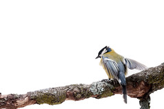 Great Tit in front of white background (svetoslavradkov) Tags: tit great isolated major parus animal background bird camera chickadee cut cutout habitat looking nature nobody out outdoors paridae passeriformes perching sit titmouse tomtit tree twig white wild wildlife