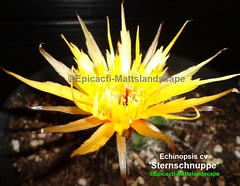 Echinopsis hybrid 'Sternschnuppe' ( Bloom pic #1 ) (mattslandscape) Tags: sternschnuppe echinopsis gezackt jagged serrated gold yellow ts4250 thomas stöfer shooting star meteor kakteen cactus cactusblooms cacti cactusflowers cactiblooms flower floweringcactus flickrechinopsisbloomgroup bloom blooms bloomingcactus bloompictures flowers