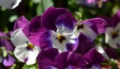 2208ex pleasing purples (jjjj56cp) Tags: flowers blossoms blooms pansies pansy pruple yellow color colorful bright vivid spring springtime edenpark krohnconservatory cincinnati oh ohio d7000 jennypansing closeup white green dof