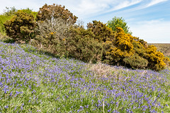 Dartmoor Bluebells