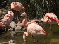 The Flamingo's Smile (Distraction Limited) Tags: chileanflamingo phoenicopteruschilensis flamingos phoenicopterus birds reidparkzoo genereidpark reidpark zoos tucson arizona reidparkzoo20160509
