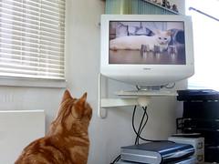 The cat channel (buckaroo kid) Tags: london uk tv cat feline orange tabby ginger watching woody woodythecat