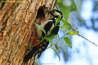 Buntspecht - Great spotted woodpecker