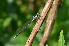 Variable Damselfly  Coenagrion pulchellum Upton NWT Norfolk (JohnMannPhoto) Tags: variable damselfly coenagrion pulchellum upton nwt norfolk
