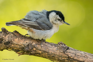 White-breasted Nuthatch - Feather Ruffle