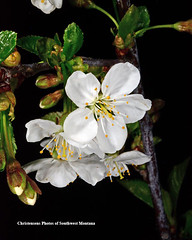 Cherry Blossom (Photos of Southwest Montana) Tags: cherry blossom flower tree plant green leaves nature spring springtime sour rocky rockies mountains rockymountains beaverhead beaverheaddeerlodgenationalforest photosofsouthwestmontana dillon montana bradchristensen