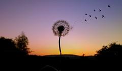 Wishful (Michelle O'Connell Photography) Tags: drumchapel glasgow nature dandelion dandelionseed wish landscape dusk twilight colour drumchapellifesofar michelleoconnellphotography