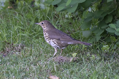 "songthrush1Hampstead • <a style=""font-size:0.8em;"" href=""http://www.flickr.com/photos/157241634@N04/42234358021/"" target=""_blank"">View on Flickr</a>"