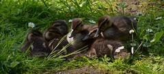 Six in a huddle (simon edge) Tags: telephoto nikon d5100 55300mm chesterfieldcanal birds ducklings