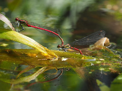 P5230016 LRDs (tobyjug5) Tags: red slender beautiful paired water london spring wildlife insects macro egglaying reflection