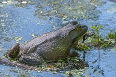 Bullfrog In The Canal (freshairphoto) Tags: bullfrog frog amphibian canal towpath trail duckweed wildwood park harrisburg pa artspearing nikon d500 200500 zoom handheld