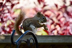 Red Squirrel (Linda Ramsey) Tags: bokeh red animal outdoors backyard ontario may spring nature americanredsquirrel squirrel redsquirrel