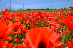 Poppies 2 (sebastienvillain) Tags: xe2 xseries xf35mm provence campagne campaign champ field coquelicot poppy coquelicots poppies red rouge nature fleur fleurs flower flowers