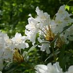 Au jardin, rhododendron hybride