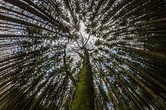 Bavarian Wood 1 explored (Bilderschreiber) Tags: trees tree bäume baum wald wood holz fokus focus bavaria bayern