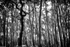 dancing trees (fhenkemeyer) Tags: cameramovement icm bw haltern nrw westruperheide experiment inmotion trees