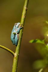 rainette bleue (Pierre-jean Lechene) Tags: grenouille arboricole bleue