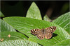 LR7-PGH57795 (JB89100) Tags: 2018 insectes moulinatan papillons sens ou quoi