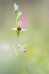 Ophrys apifera var. aurita (AIIex) Tags: orchid orchideespontanee wildorchid macro nature flower fiore spring nikon d7100 sigma darktable