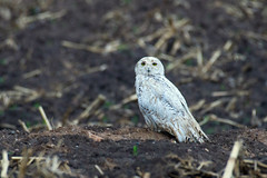 Snowy owl in the rain may 19 2018 (Mel Diotte) Tags: soggy wet snowy owl wild nature raptor mel diotte nikon