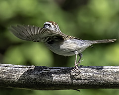 Chipping Sparrow (Patchman 2, Thanks for 1 million views) Tags: nikond500 tamron150600g2