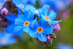 Vergissmeinnicht (Re Ca) Tags: blüte essen frühling gruga makro nrw stadtessen blümchen natur nature makrofotografie bokeh