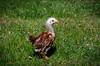 Baby Chickens-20 (sammycj2a) Tags: chick chickens backyardfarm farm chicks pullets straightrun backyard nikon nikkor lightroom