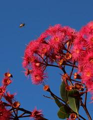 Autumn Red Eucalyptus flowers (AlfredSin) Tags: alfredsin canoneos760d australianplants australiannativeplants australiannativeflowers redflowers autumnflowers canonef100mmf28lmacro