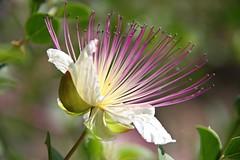 capparis spinosa (FrVi) Tags: capparisspinosa cappero caper flower nature fiore day