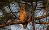 Great horned owl in Roseland, Florida (miro_mtl) Tags: arbres attente bubovirginianus d7200 grandducdamérique hibou indianrivercounty nikon nikond7200 outdoors roseland tamron tamronsp150600mm usa america amerique bird birdofprey bleu bluesky ciel claws florida greathornedowl look morninglight nature oiseau oiseaudeproie owl printemps raptor sky spring trees waiting wildlife