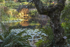 IMG_1876 (Sandra_Lee) Tags: national rhododendron garden melbourne australia mtdandenong outdoors nature autumn lake pond lily lillies water fern ferns trees leaves