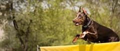 Hurdling (zola.kovacsh) Tags: outdoor animal pet dog dobermann doberman pinscher ipo schutzhund grass meadow