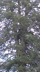 IMAG0029 (scottmcon) Tags: treed bears four actually sow yearling cubs