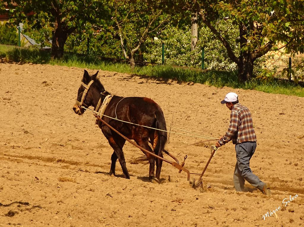 Águas Frias (Chaves) - ... lavrando a terra com o cavalo e arado ...