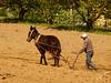 Águas Frias (Chaves) - ... lavrando a terra com o cavalo e arado ... (Mário Silva) Tags: aldeia águasfrias chaves portugal trásosmontes ilustrarportugal madeinportugal lumbudus máriosilva 2018 maio primavera cavalo lavrar arar charrua arado